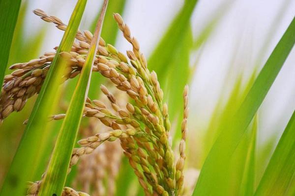 高产水稻前十名的品种(附亩产斤数),超级水稻种子前十名