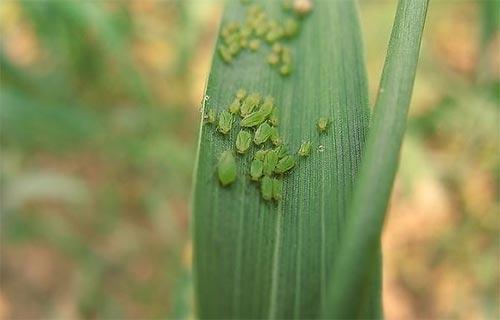 小麦蚜虫科学防治才能夺高产