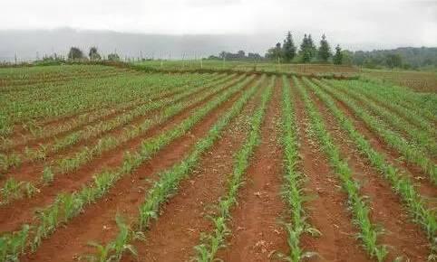 春播玉米什么时候播种,怎样种好春播玉米?