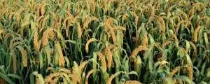 种植小米一亩挣多少,利润大不大,用什么肥料最好?