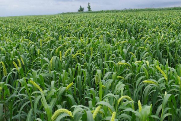 种植小米一亩挣多少,利润大不大,用什么肥料最好