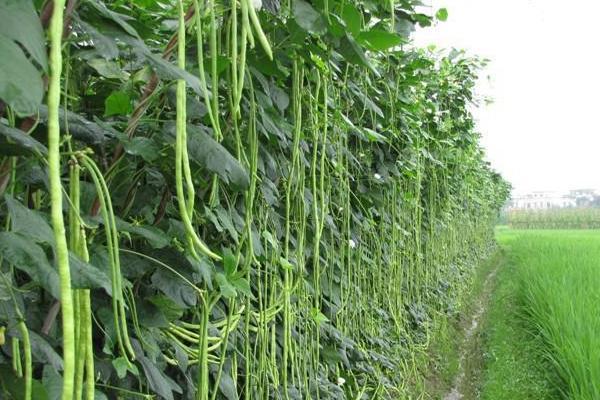 豆角怎么种植方法才高产