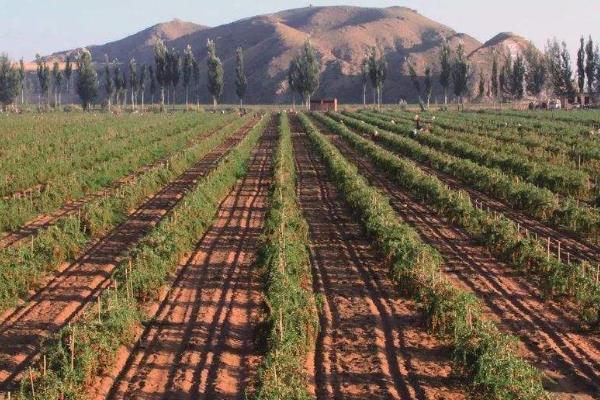 种植枸杞的利润与成本,几年有利润