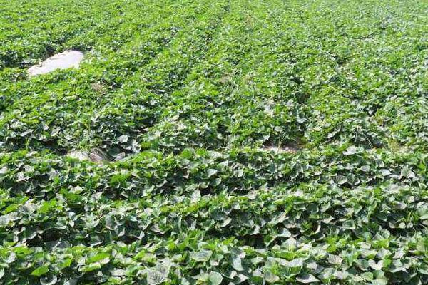 20亩红薯利润多少,附一亩利润算法