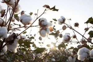 种棉花一亩地的收入,需要投资多少钱,一亩地有多少棵?