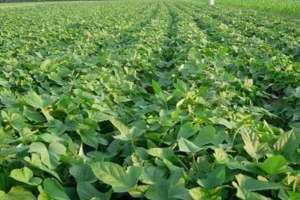 种植20亩红薯利润多少,附一亩利润算法?