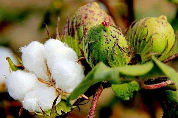 种棉花一亩地的收入,需要投资多少钱,一亩地有多少棵