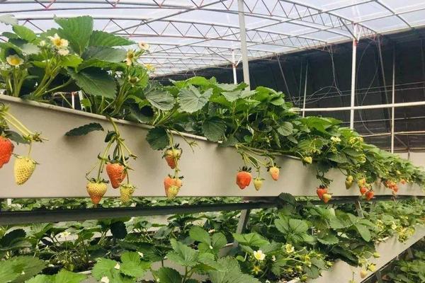 无土栽培草莓一亩投入多少,投资成本大不大?