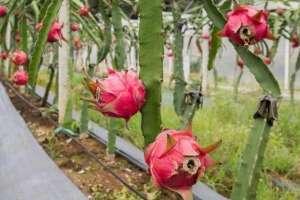 火龙果种植教程,附种植技术和管理方法!