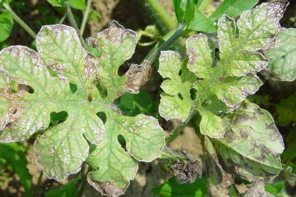 西瓜细菌性叶枯病特效药(附症状及发病规律)