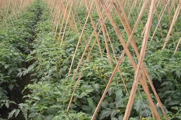 西红柿苗多大可以移栽、定植、施肥?什么时候开花
