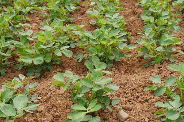 花生怎么种植,花生的种植时间和方法