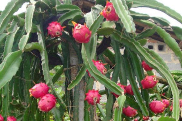 火龙果种植教程,附种植技术和管理方法