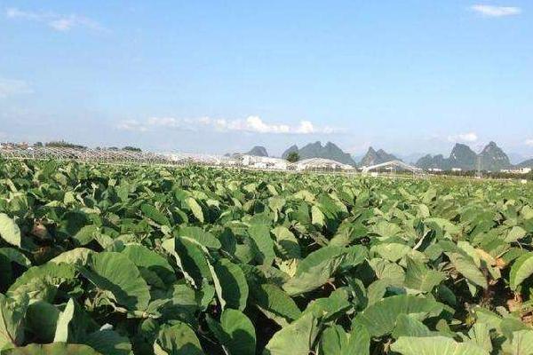 芋头怎么种植方法,附高产栽培管理技术