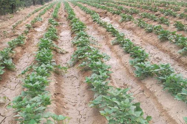 红薯苗的培育方法与技术,含培育时间及注意事项