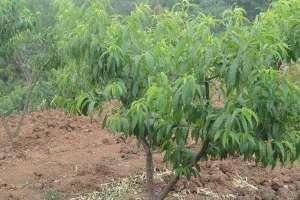桃树什么时间施肥,施什么肥合适?