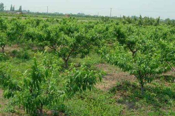 桃树什么时间施肥,施什么肥最合适?