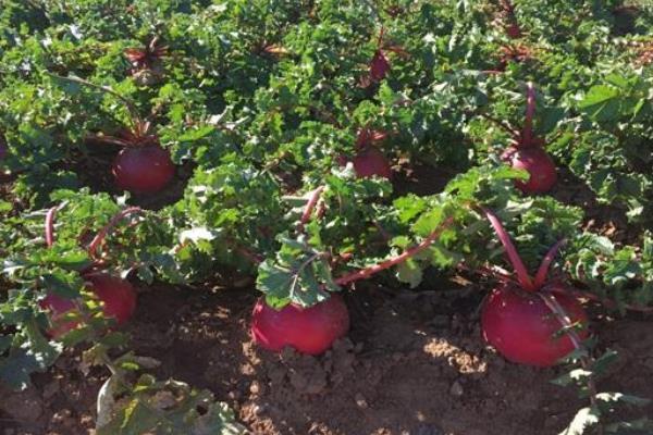红萝卜种植方法和时间