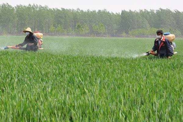 小麦除草剂什么时候打合适,年前、冬季及苗后统统告诉你
