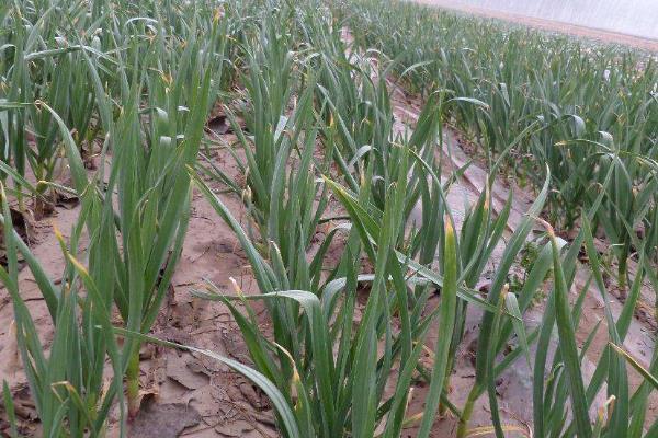 独头蒜的种植方法和时间,对土壤气候有什么要求