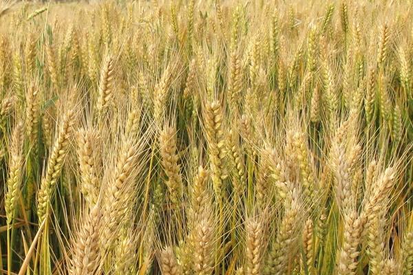 小麦施肥的时间及方法,一年一次可以吗