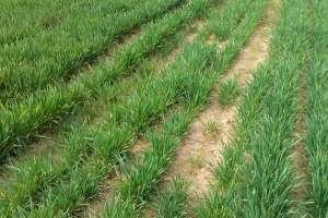 小麦施肥的时间及方法,一年一次可以吗?