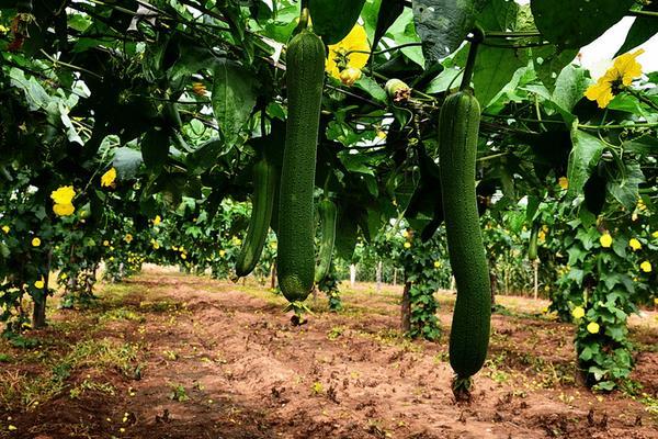 亩产五万斤丝瓜高产技术
