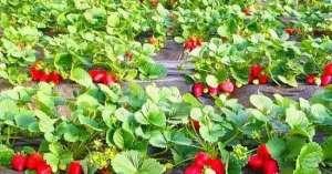 52种病虫害防治,农药混用秘方!