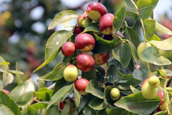 枣树施肥的时间是几月份,开花期间能不能施肥