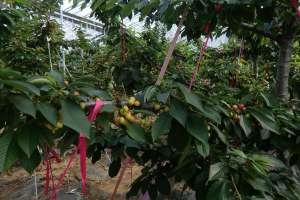 车厘子树苗几月份种植,几月适合移栽?