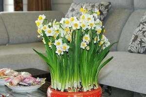 水仙花的种植步骤,5个步骤轻松学会种水仙花!