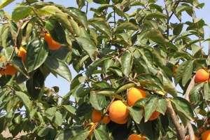 柿子树嫁接时间和方法,附常见养护技巧!