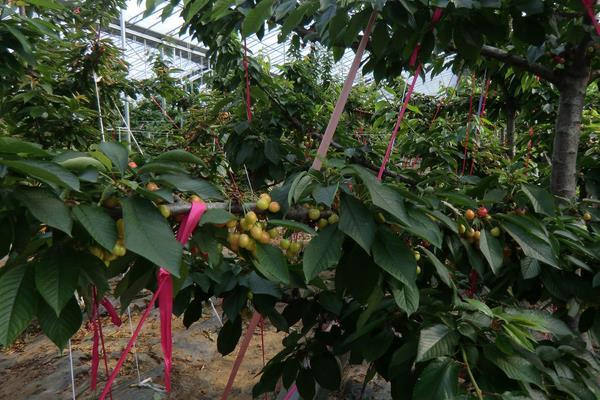 车厘子树苗几月份种植,几月适合移栽