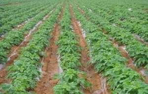 采用二、三、四膜覆盖方式种植马铃薯,收获早效益高!