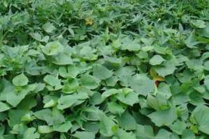 地瓜种植技术与管理,这样种才能高产?
