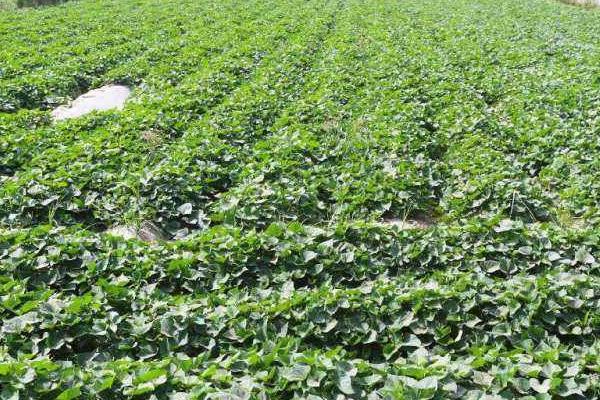 地瓜种植技术与管理,这样种才能高产