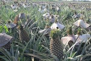 菠萝的种植方法和技术,对环境有什么要求?