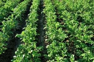 马铃薯追肥时间,用什么肥料更好?