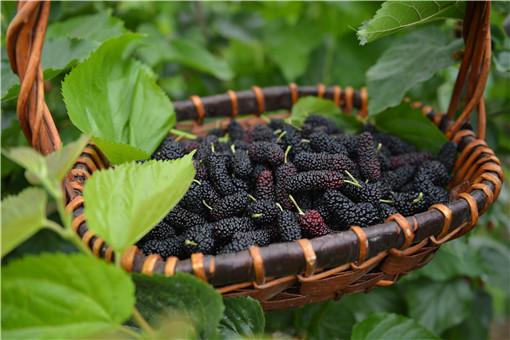 树莓-摄图网