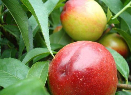 如何管理温室大棚油桃?抓这5点!