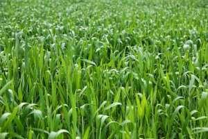 春管小麦 抓好两件事