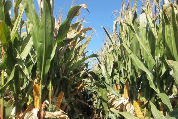 玉米喷施叶面肥时期,与水的多少有关吗