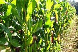 玉米喷施叶面肥时期,与水的多少有关吗?