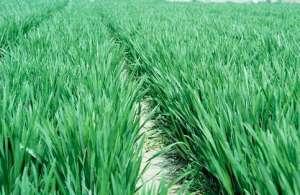 有机小麦拔节期到什么时候结束?