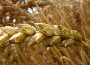 小麦干热风形成原因与防治?