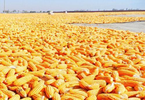 2021年4月2日全国玉米深加工企业今日报价
