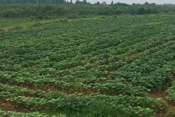红薯切块种植方法