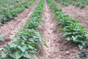 红薯切块种植方法!