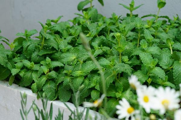 盆栽薄荷的养殖方法和注意事项