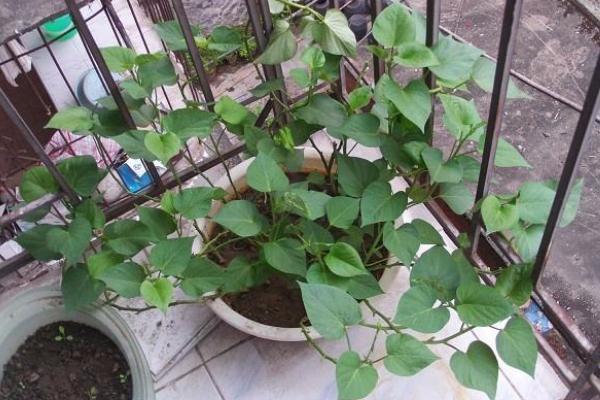 菜用红薯叶种植